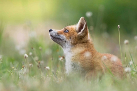 Red fox in a field